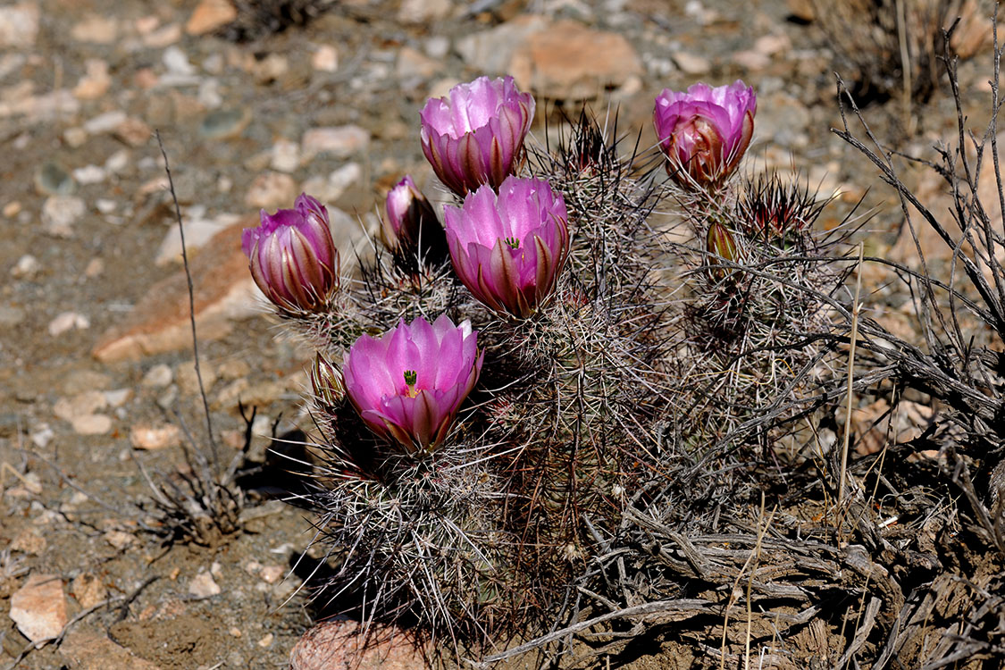 Echinocereus engelmannii, USA, California, Riverside Co.