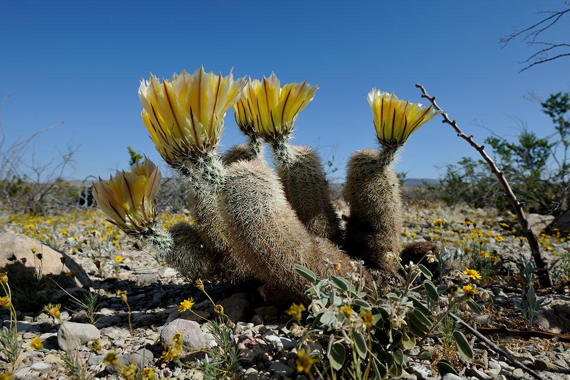 Echinocereus dasyacanthus, USA, Texas, Brewster Co.