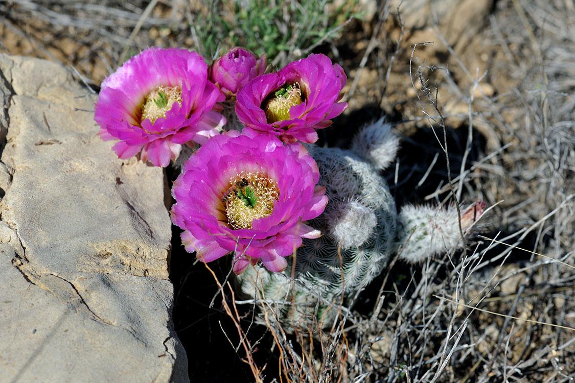 Echinocereus reichenbachii subsp. caespitosus, USA, Texas, Shackelford Co.