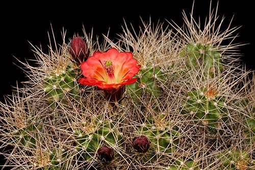 Echinocereus mojavensis, USA, Arizona, Desert View