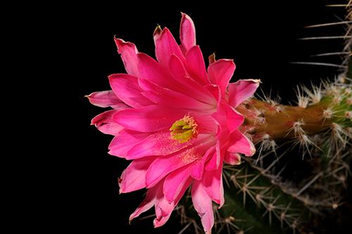 Echinocereus scheeri, Mexico, Chihuahua, Divisadero - Creel
