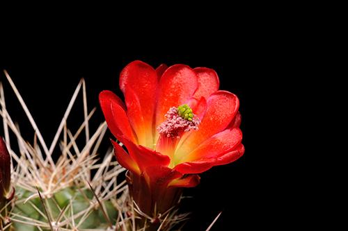 Echinocereus mojavensis, USA, Arizona, Toroweap Point