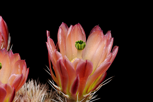 Echinocereus xlloydii, USA, Texas, Pecos Co.
