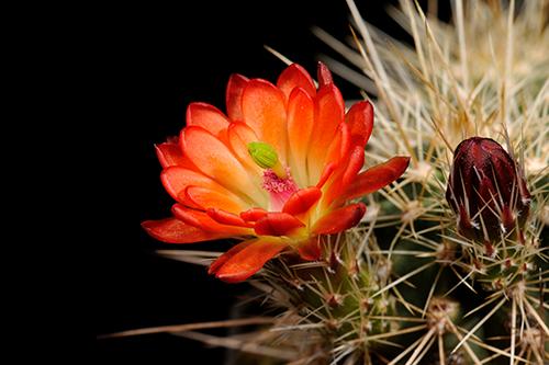 Echinocereus coccineus, USA, New Mexico, Taos