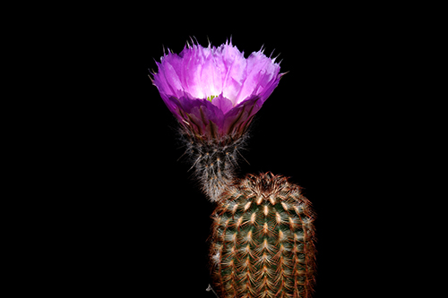 Echinocereus reichenbachii subsp. caespitosus, USA, Texas, Enchanted Rock