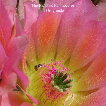 Das Farbspiel der Echinocereen von Orogrande