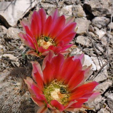 Die fantastischen Blüten von Echinocereus dasyacanthus (eBook)