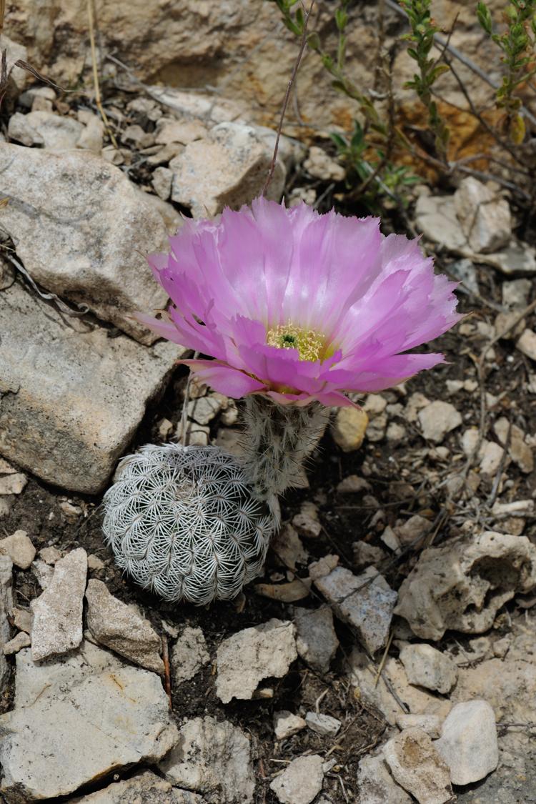 Echinocereus reichenbachii subsp. caespitosus, USA, Texas, Sutton Co.