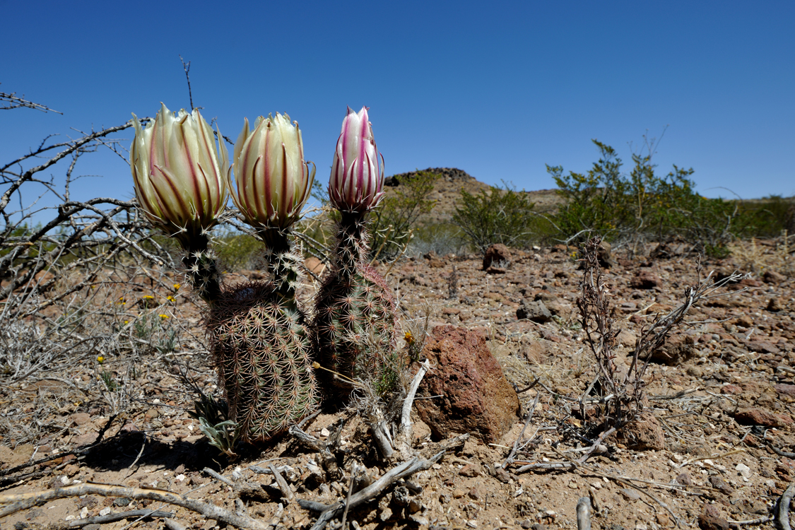 Echinocereus spec., USA, Texas, Reeves Co.