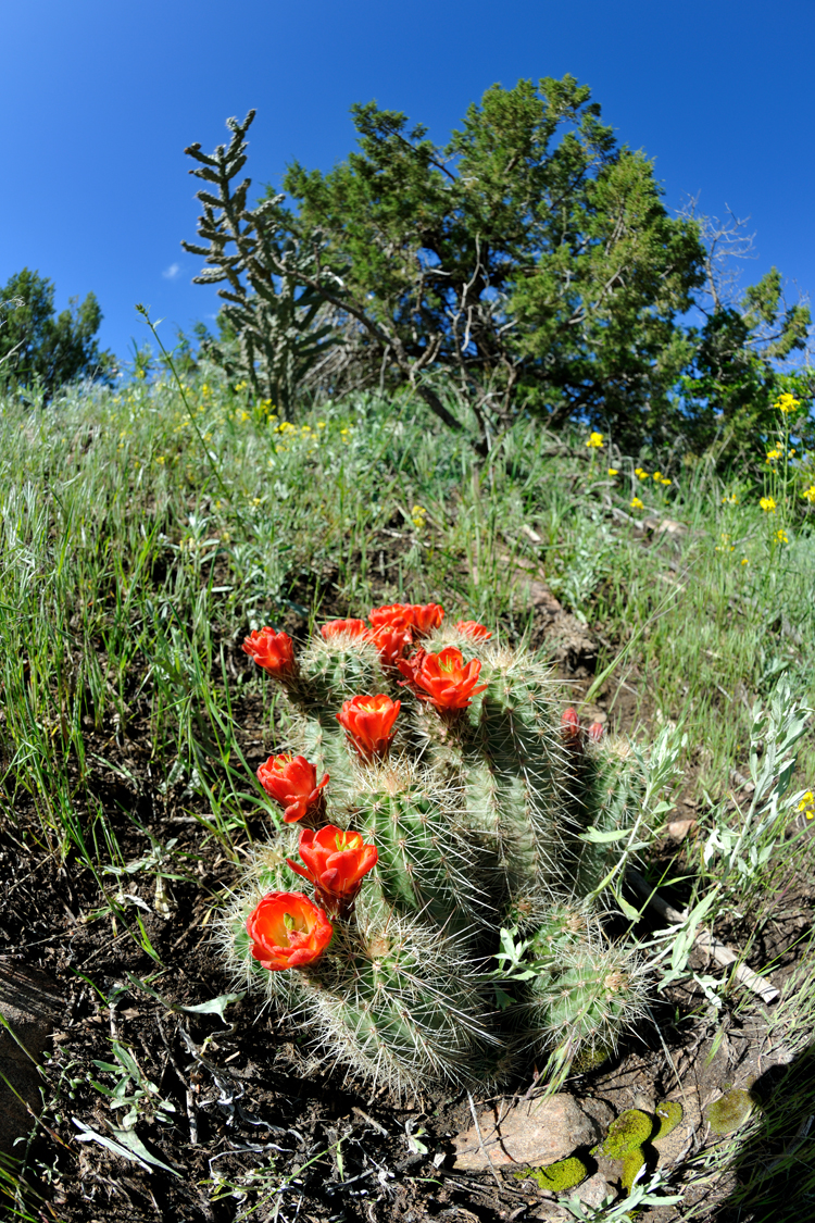 Echinocereus coccineus, USA, Colorado, Fremont Co.