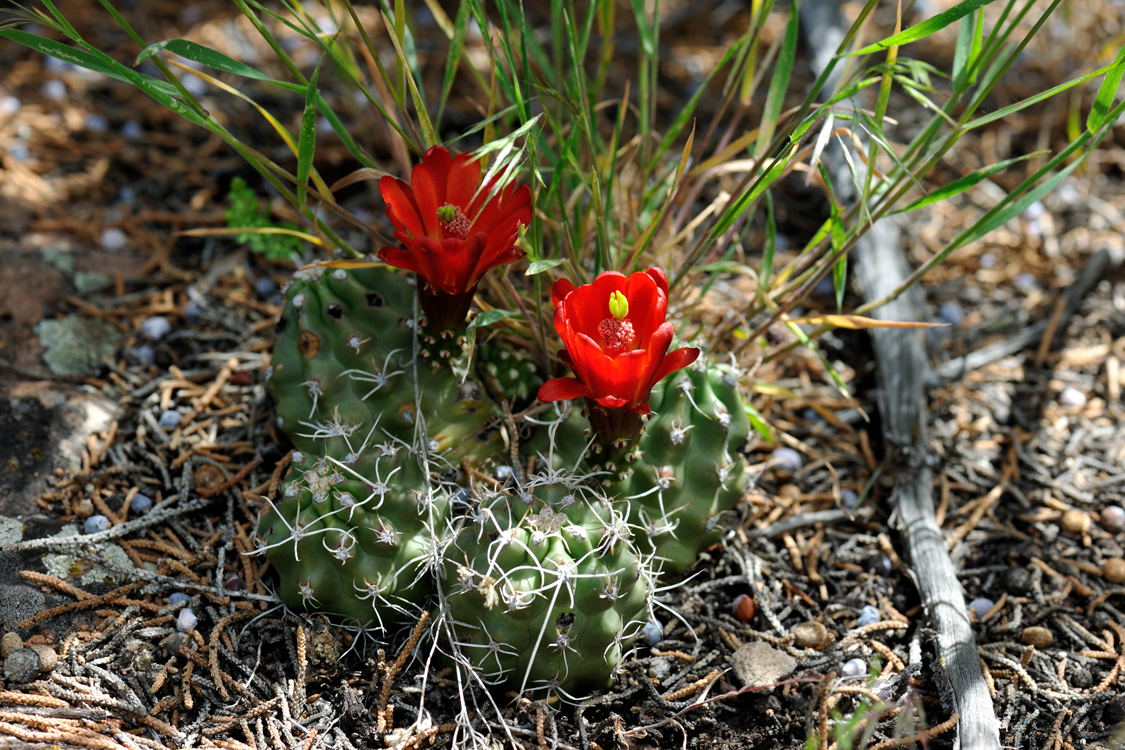 Echinocereus mojavensis fa. inermis, USA, Colorado, Mesa Co.