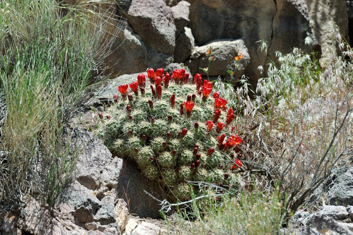 Echinocereus mojavensis, USA, Utah, Sevier Co.