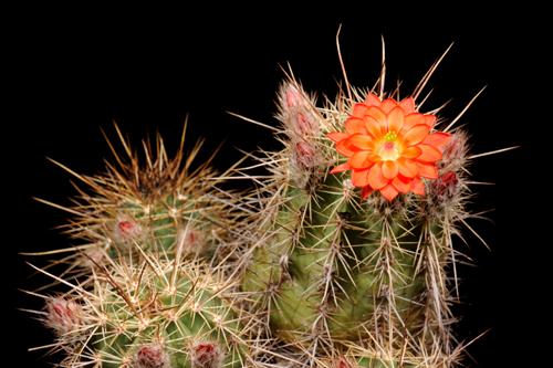 Echinocereus polyacanthus, Mexico, Chihuahua, La Junta
