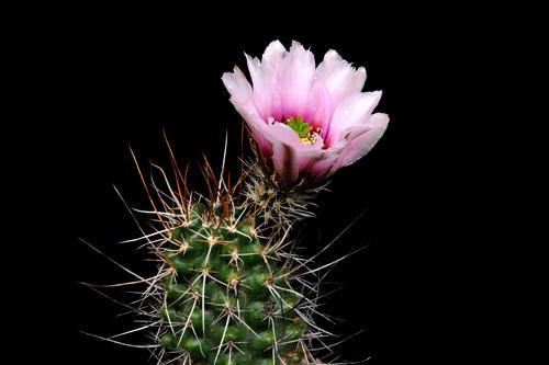 Echinocereus engelmannii subsp. fasciculatus, Mexico, Sonora