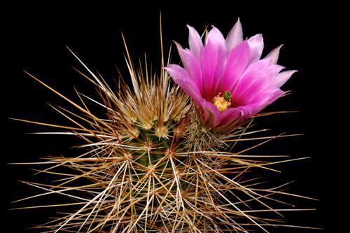 Echinocereus engelmannii, Mexico, Baja California, El Arco