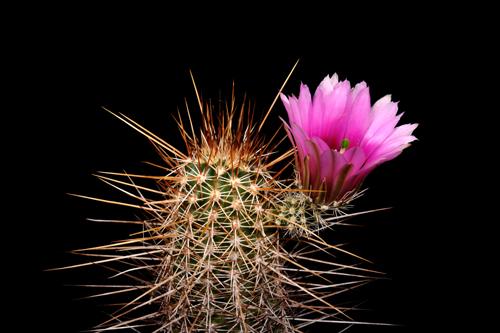 Echinocereus engelmannii, USA, Arizona, Tom Mix Wash