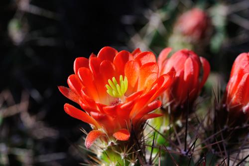 Echinocereus coccineus subsp. paucispinus, USA, Texas, Eagle Pass