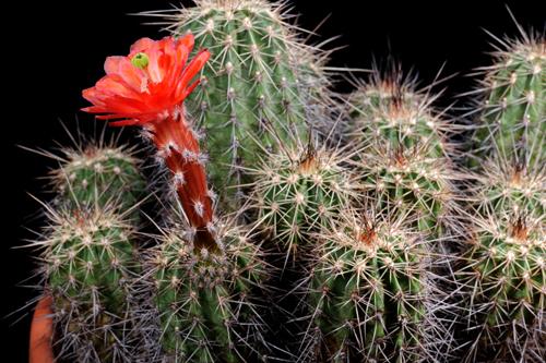 Echinocereus acifer, Mexico, Zacatecas, Minas Colorado