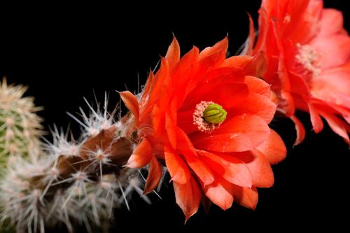 Echinocereus scheeri subsp. paridensis, Mexico, Sonora, Choix