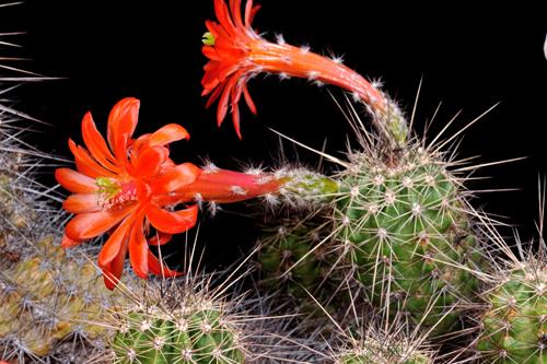 Echinocereus acifer, Mexico, Zacatecas, Hornillos