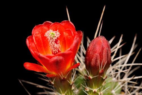 Echinocereus mojavensis, USA, Utah, Cisco