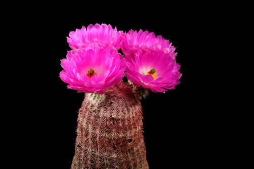 Echinocereus rigidissimus, Mexico, Sonora, Moctezuma