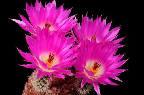 Echinocereus rigidissimus, Mexico, Sonora, Hermosillo - San Nicolas