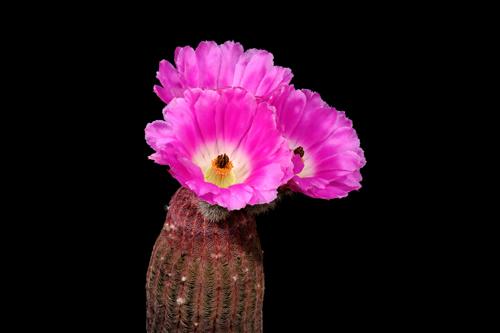 Echinocereus rigidissimus, Mexico, Sonora, Rosario, PG139