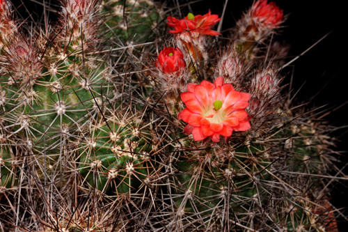 Echinocereus polyacanthus, Mexico, Durango, Durango - Mazatlan