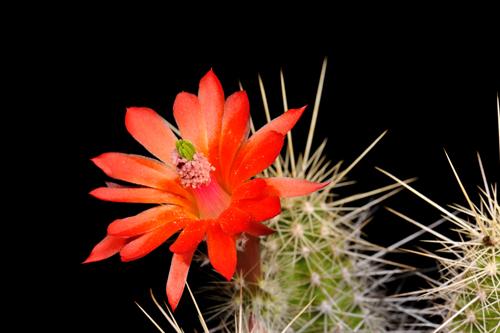 Echinocereus klapperi, Mexico, Sonora, El Novillo