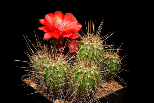 Echinocereus topiensis, Mexico, Durango, Topia