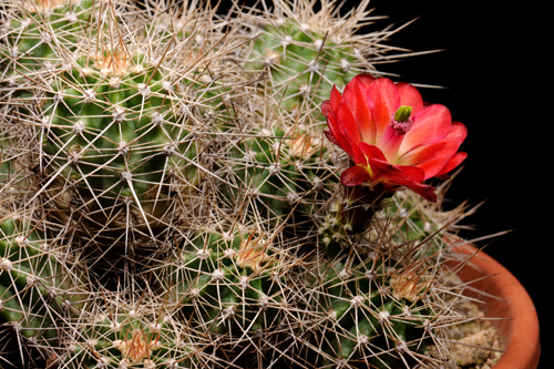 Echinocereus bakeri, USA, Arizona, Seligman - Kingman