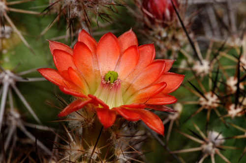 Echinocereus polyacanthus, Mexico, Durango, Durango - Mazatlan, Km 68