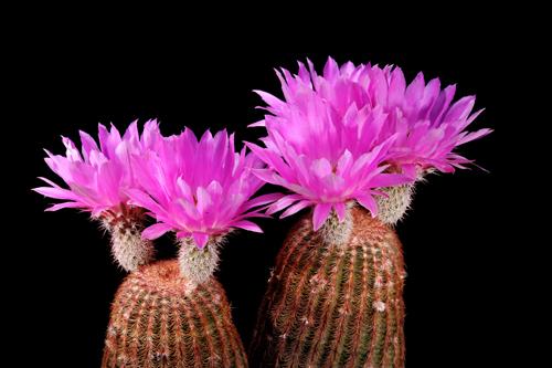 Echinocereus rigidissimus, USA, Arizona, Sonoita