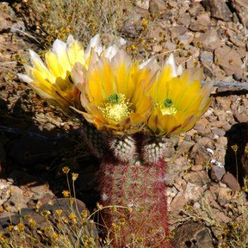 Echinocereus in Habitat - Echinocereus dasyacanthus subsp. multispinosus, Mexico, Chihuahua, Municipio Coyame del Sotol