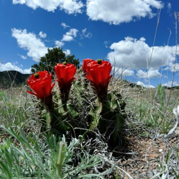 Echinocereus in Habitat - Echinocereus triglochidiatus, USA, Colorado, Fremont County