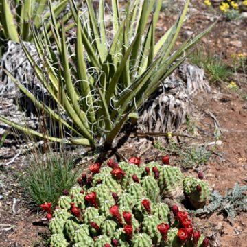 Echinocereus mojavensis fa. inermis, USA, Utah, San Juan County