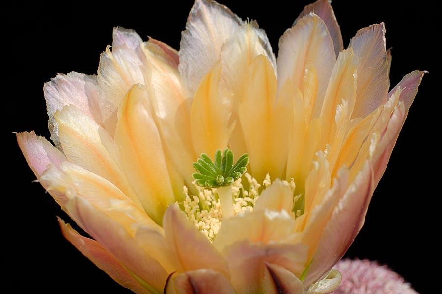 Echinocereus pectinatus, Mexico, Detras