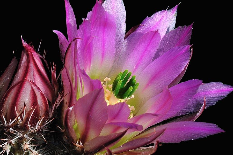 Echinocereus pectinatus, Mexico, Zacatecas, Santa Rita