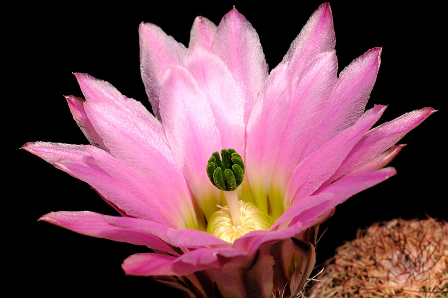 Echinocereus pectinatus, Mexico, Chihuahua, El Morrion