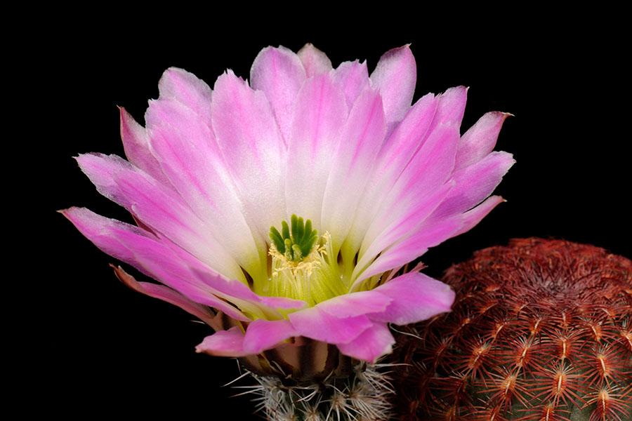 Echinocereus pectinatus, Mexico, San Luis Potosi, San Luis Potosi