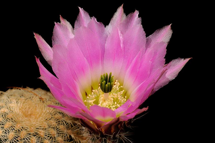 Echinocereus pectinatus, Mexico, Zacatecas, Villa Hidalgo