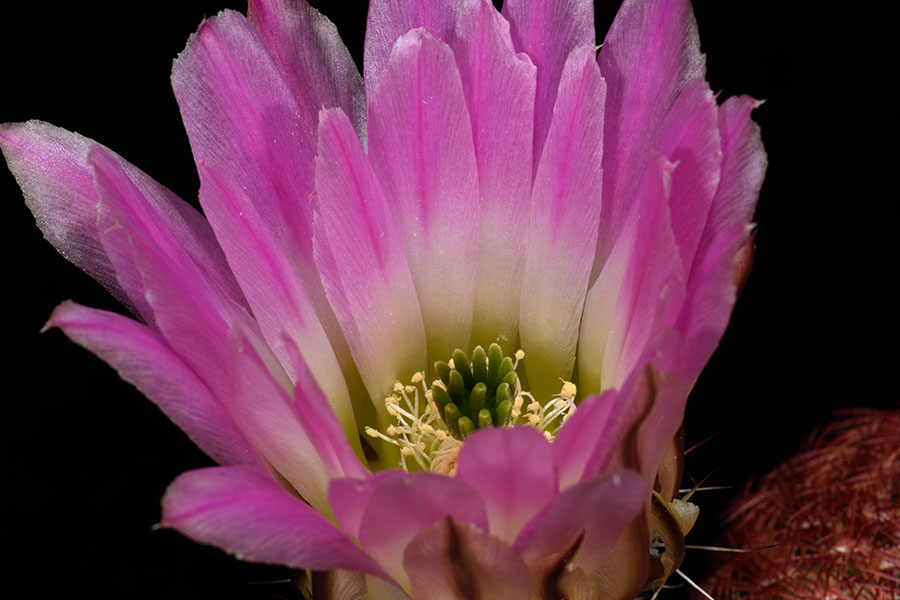 Echinocereus pectinatus, Mexico, San Luis Potosi, Charco Blanco