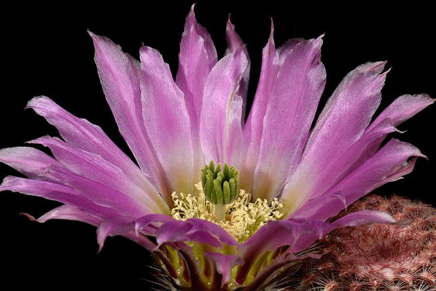 Echinocereus pectinatus, Mexico, Zacatecas, Salinas