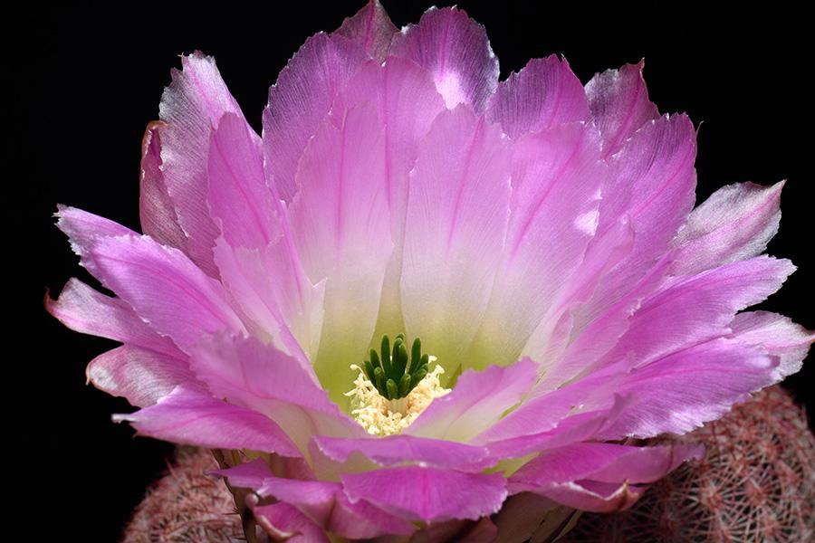 Echinocereus pectinatus, Mexico, Durango, Pipila