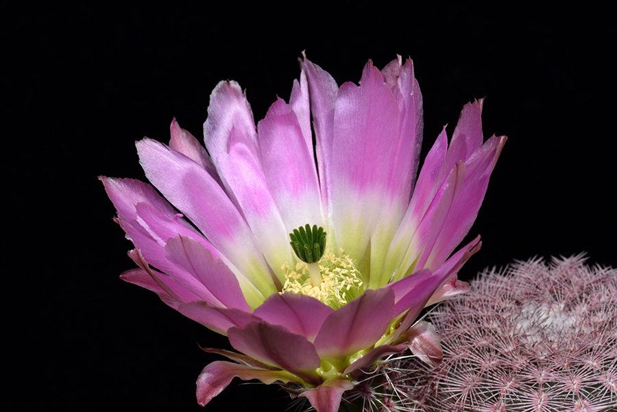Echinocereus pectinatus, Mexico, Coahuila, La India