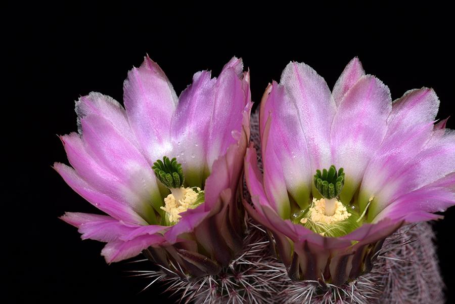 Echinocereus pectinatus, Mexico, Zacatecas, Los Hacheros