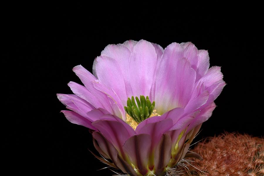 Echinocereus pectinatus, Mexico, Chihuahua, El Sauz