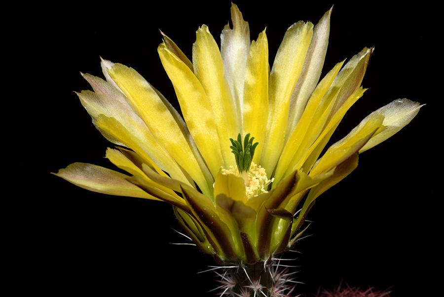 Echinocereus pectinatus subsp. rutowiorum, Mexico, Chihuahua, Chihuahua – Cuauthemoc