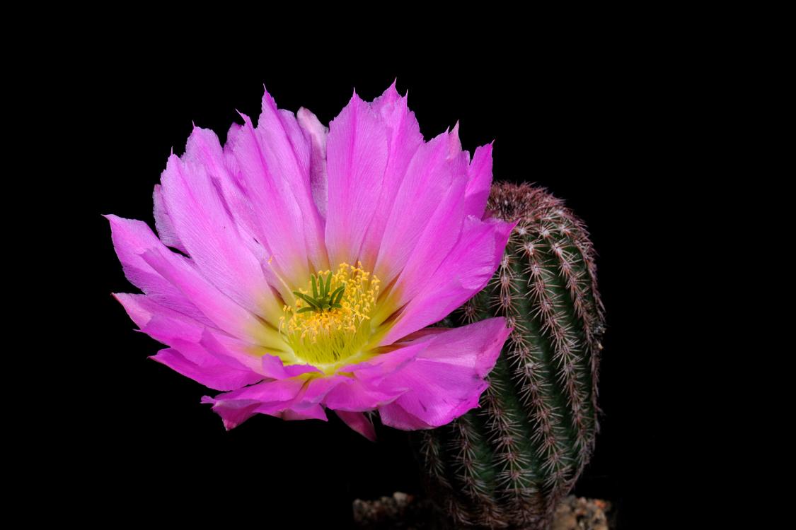 Echinocereus scopulorum subsp. pseudopectinatus, Mexico, Sonora, Nacozari